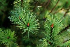 Varias ramas jovenes del pino Fotografía de archivo