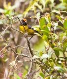 El pinzón Black-faced del cepillo en la selva. Fotografía de archivo libre de regalías