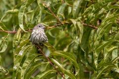 El pinzón de casa femenino se encaramó en una rama de árbol verde Foto de archivo