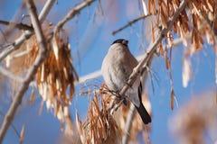 El pinzón vulgar se sienta en una rama de árbol contra un fondo del cielo azul Foto de archivo
