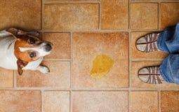El pis del perro mira para arriba Foto de archivo libre de regalías