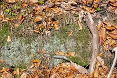 El piso del bosque del otoño con la haya y el roble se va, musgo verde, rocas foto de archivo libre de regalías