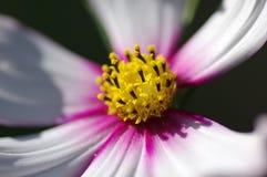 El pistilo de la flor del galsang Fotografía de archivo