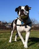 El pitbull real es el bestfriend del hombre Fotografía de archivo