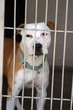 El pitbull se sienta en su jaula en el abrigo animal Foto de archivo
