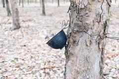 El plástico ahueca la ejecución en los árboles de goma Fotos de archivo libres de regalías