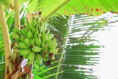 El plátano crudo con un manojo en el árbol con el espacio de la copia añade el texto foto de archivo libre de regalías