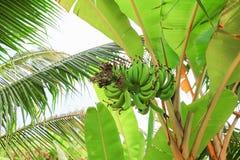 El plátano crudo con un manojo en el árbol con el espacio de la copia añade el texto foto de archivo