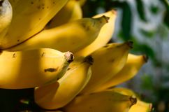 El plátano es la fruta que es poco probable conseguir energía mucho, pero la cree o no, las reservas de los recursos del plátano  Foto de archivo libre de regalías