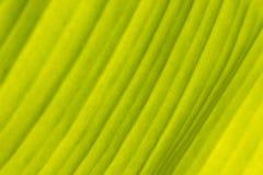 El plátano verde se va para el fondo fotos de archivo