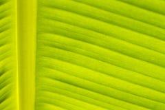 El plátano verde se va para el fondo foto de archivo libre de regalías