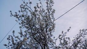El plan total de la parte inferior hasta el manzano floreciente en la yarda Visi?n hermosa Manzanos en la floraci?n metrajes