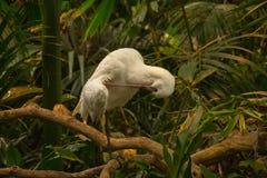 El Platalea africano del spoonbill alba en rama fotografía de archivo