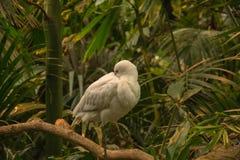 El Platalea africano del spoonbill alba en rama imagenes de archivo