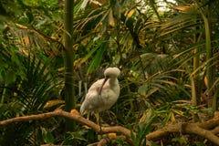 El Platalea africano del spoonbill alba en rama fotos de archivo