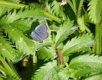 El Plebejus azul plata-tachonado argus Fotografía de archivo