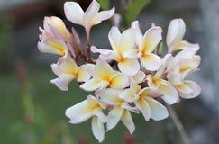 El plumeria blanco y amarillo florece (el plumeria) fotografía de archivo