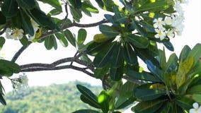 El Plumeria, frangipani florece árboles en el lado de la piscina, el concepto para relaja el centro turístico y el balneario trop almacen de video