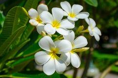 El Plumeria (frangipani) florece en árbol Imagen de archivo