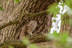 El poco estirar del noctua de Owl Athene imagen de archivo