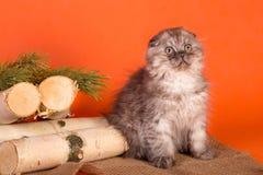 El poco gatito escocés del doblez en fondo anaranjado Fotos de archivo libres de regalías