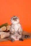 El poco gatito escocés del doblez en fondo anaranjado Foto de archivo libre de regalías