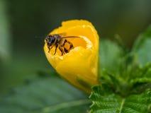 El poco hola de la abeja dentro de la flor amarilla Foto de archivo libre de regalías
