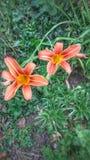 El poder de las flores del lirio Fotos de archivo libres de regalías