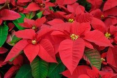 El poinsettia rojo florece el primer Foto de archivo libre de regalías