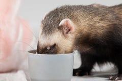 El Polecat comió de la taza fotografía de archivo libre de regalías