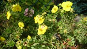 El polen cubrió el abejorro Fotografía de archivo