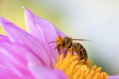 El polen cubrió la abeja Imagen de archivo libre de regalías