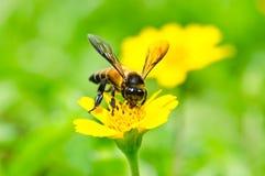 El polen cubrió la abeja de la miel en una flor salvaje Fotografía de archivo