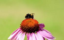 El polen cubrió la abeja en centro de la flor Foto de archivo libre de regalías