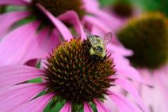 El polen cubrió la abeja y Coneflower Imágenes de archivo libres de regalías