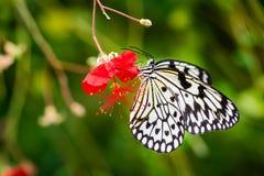 El polen cubrió la mariposa blanco y negro en la flor roja Imágenes de archivo libres de regalías