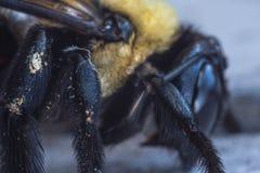 El polen cubrió las piernas de la abeja Imágenes de archivo libres de regalías