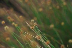 El polen de la hierba comienza a secarse foto de archivo libre de regalías