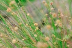 El polen de la hierba comienza a secarse foto de archivo