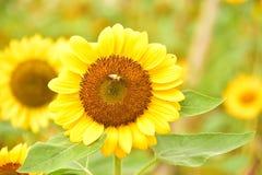 El polen del girasol con una abeja imagenes de archivo