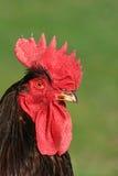 El pollo fotos de archivo