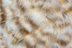 El pollo abigarrado empluma macro Foto de archivo libre de regalías