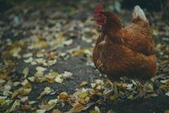 El pollo camina en el jard?n El pollo pasta libremente fotos de archivo libres de regalías