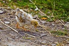 El pollo camina en la yarda Imagenes de archivo