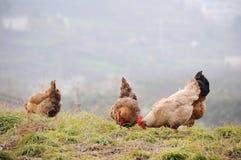 El pollo de la gallina está comiendo Fotos de archivo
