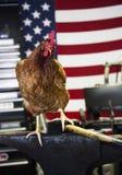 El pollo de trabajo Fotografía de archivo libre de regalías