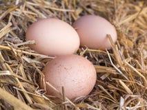 El pollo marrón del primer eggs en una cama de la paja Imágenes de archivo libres de regalías