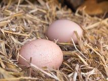 El pollo marrón del primer eggs en una cama de la paja Foto de archivo