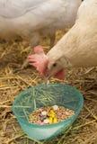 El pollo picotea la píldora Imagen de archivo libre de regalías