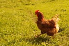El pollo rojo camina en un prado Imagen de archivo libre de regalías